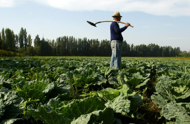 27 de Febrero de 2009 Cosecha de Repollos en Peñaflor. En la foto un agricultor revisa su cultivo de repollos poco antes de la cosecha. Fotos Hector Retamal Correa